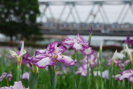 ひとりお花見部 小岩菖蒲園で 菖蒲のお花見