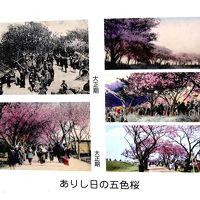 ワシントンから里帰りした「五色桜」を見に、荒川堤、都市農業公園へ行く