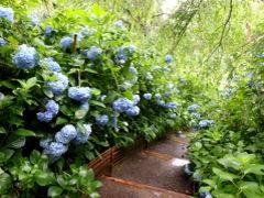 明月院ブルーを見に鎌倉&繊細パフェ