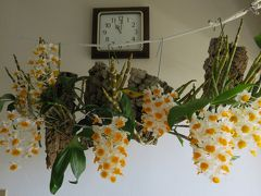 2018梅雨、温室なしで咲かせた蘭の紹介(1/2):6月22日(1):シルシフローラム、デンシフロルム、アグレガツム、ファーメリ