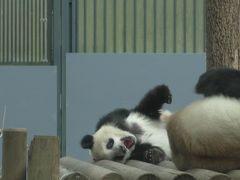 再びシャンシャン(上野動物園)