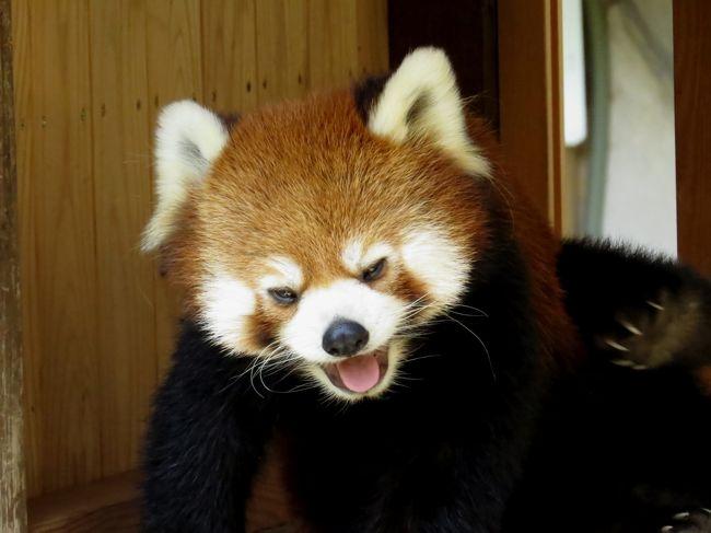 今日は同じ県内とは言え家からはかなり遠い姫路の2園を訪問です。<br />目的は2つ、4月に川崎市夢見ケ崎動物公園から姫センにお婿入りして来たケンタ君に会うこと、そして、今年こそ!!の期待が高まる姫路市立動物園のミホちゃんの様子を探ること。<br /><br />まずはケンタ君。<br />まだお嫁さん候補の佳佳(ジャジャ)ちゃんとの同居が始まっていないケンタ君は現在のところトロ君との隔日展示との事で、姫路までの往復交通費&姫センの入場料金を考えると50:50の賭けはかなりのギャンブルにも思え、これまで訪問をためらっていたのですが、このまま夏に突入すると展示自体が暑さのために休止になる可能性もあり、そろそろ勝負に出る時だと判断しました・・・さて、賭けに勝てたのか、乞うご期待。<br /><br />そして、ミホちゃん。<br />ミホちゃんの様子を探るのが目的ではあるのですが、逆説的に「ミホちゃんは体調管理(と言う名の出産準備)のため展示をお休みしています」なんて掲示があれば嬉しいなと思いつつ訪問したのですが・・・。<br />レッサー界きっての不思議ちゃん・・・ママになって欲しいなぁ。<br /><br /><br />これまでのレッサーパンダ旅行記はこちらからどうぞ→http://4travel.jp/travelogue/10652280