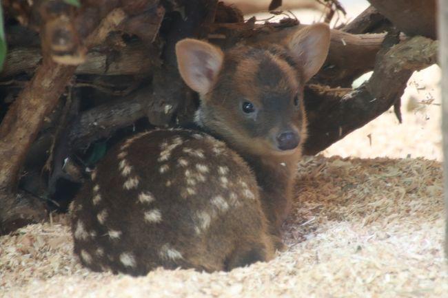 来月7月に短期ですが海外旅行を控え、この週末はアクセスに時間がかからず、閉園時間までいなくてもリピートできるレッサーパンダ動物園に行こうと思い、多摩動物公園あたりを候補にしていました。<br />ところが、埼玉こども動物自然公園(埼玉ズー)にいる世界一小さなシカであるプーズーの赤ちゃんが生まれ、6月16日(土)から公開されたことを知り、2週間ぶりでも、また埼玉ズーに行きたくて、むずむずしてきてしまいました。<br />赤ちゃんにしかない鹿の子模様は、半年くらいは見られるようですが、赤ちゃんは成長が早いので、可能な限り小さなうちに見に行きたいと思ったのです。<br />それに、埼玉ズーは、我が家から車でアクセスが楽なのと、県道・国道を走る片道40分程度のドライブも、今の私には楽しみなせいもありました。<br /><br />行きたいとなると、埼玉ズーでの楽しみや、いま行っておいた方がよいと思う理由はいくつも挙がりました。<br />前回訪れたのは2週間前の6月10日(日)とその前(5月13日)はどちらも雨でした。<br />赤ちゃんラッシュの埼玉ズーで、雨でもカンガルーやワラビーの赤ちゃんには会えましたが、プレーリードッグとワオキツネザルの赤ちゃんには会えませんでした。<br />それから、本日6月24日は、レッサーパンダのナツちゃんの誕生日です。<br />そして翌日の6月25日は月曜日なので休園日ですが、ミヤビちゃんの1才の誕生日です。<br />埼玉ズーでは動物たちの誕生日にちなんで何かイベントが行われるわけではないのですが、誕生日に会いに行ってお祝いしたいと思いました。<br />それに、ミヤビちゃんは、いずれ他園にお嫁に行ってしまうはずですから、できるだけたくさん会っておきたいです。<br />ああ、ミヤビちちゃん、お婿さんを迎えて、ずっと埼玉ズーにいてくれればいいのに……などと、私の心境は花嫁の母ではなく、「娘はどこにも嫁にやらん!」と言いたくなる花嫁の父です(笑)。<br /><br />前回と前々回は雨だったので、赤ちゃん目当てと雨をしのぎやすい場所ということで、回れたところはほとんど同じになりましたが、今回は少しだけルートを変えることができました。<br />やっぱり雨でない方が、散策はラク~!<br />北園でいうと、前回と前々回は行けなかった、プーズー展示場やペンギンヒルズまで足を伸ばすことが出来ました。なんてったって今回はプーズーの赤ちゃんも目当てのトップでしたから。<br />代わりに、今回はなかよしコーナーやコツメカワウソには会いに行けませんでした。<br /><br />埼玉ズーでは、プーズーの赤ちゃんを含め、まだまだ赤ちゃんラッシュです。<br />もちろん春生まれの赤ちゃんたちは成長しましたが、子供たちはまだまだ一回り小さくて、いまだけ見られる可愛らしい姿を見せてくれました!<br /><br />プーズーの赤ちゃんは、この週末から、限定公開ではなく、終日公開になっていました。<br />でも、午前中、何度か会いに行ったときは、お母さんのスミレちゃんが奥の方でまったりし、赤ちゃんはその後ろにいたので、ほとんど見えませんでした。<br />でも、夕方にはバッチリ会えました。<br />名前投票の最終日だったので、投票することもできました。<br /><br />前回と前々回はしっぽしか会えなかったワオギツネザルの赤ちゃんにも、バッチリ会えました!<br />これまでの2回は雨だったので、ワオキツネザルたちは屋根の下で固まって丸くなっていましたが、今回は自由に活動する姿が見られましたし、ママにおぶさる赤ちゃんもよく見えました。<br /><br />レッサーパンダの展示については、本日最高気温が30度の夏日で蒸し暑いとの予報だったので、屋外展示が中止になるかもしないと覚悟していましたが、朝は曇天で、夏のような暑い時間帯は昼間の1~2時間のみで、それほど湿気がなかったので木陰は思ったより涼しかったからか、レッサーパンダたちは前回同様、屋内と屋外行き来自由になっていて、緑多い中で過ごす姿が見られました。<br />今回も、なかなか外に出てこないというミンミンやナツちゃん(ミヤビちゃんの祖父母)を含め、総勢5頭に会えました!<br />そして今回は、夕方、ミヤビちゃんがハナビちゃんママとバトルをしているところが見られました!<br />去年2017年10月からミヤビちゃんが公開開始されてから月1~2回は会いに来ていましたが、初めてみました!<br />ミヤビちゃんの方が何度も攻めていて、ハナビちゃんがやられっぱなしに見えましたが、そういうハナビちゃんも、ミヤビちゃんを誘っていたように見えました。<br /
