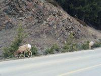バンフは大自然★動物との出会い