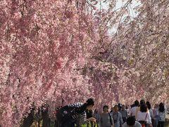 お花見 in 宮城 ☆2018年の桜風景☆