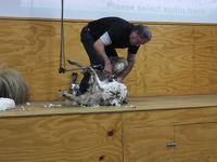 ニュージーランド旅行・オマラマにて羊の毛刈ショー