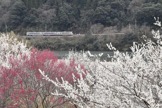 三江線は平成30年(2018)4月1日になくなりましたが、引退13日前に田津と川戸付近にてローカル線風景を写真に収めます。<br />沿線には春の訪れを知らせる紅梅・白梅が咲き誇っています。<br /><br />川戸駅には三江線に感謝する利用客のメッセージ、四季折々の写真、昭和47年豪雨災害時の写真等が展示されています。<br /><br />なお、旅行記は下記資料を参考にしました。<br />・山陰中央新報「石見のお宝紹介、桜江大橋」<br />・島根大学地域情報アーカイブ「島根県江津市に伝わる河童の伝説」<br />・名古屋市立大学生物多様性研究センター「シロバナタンポポ」<br />