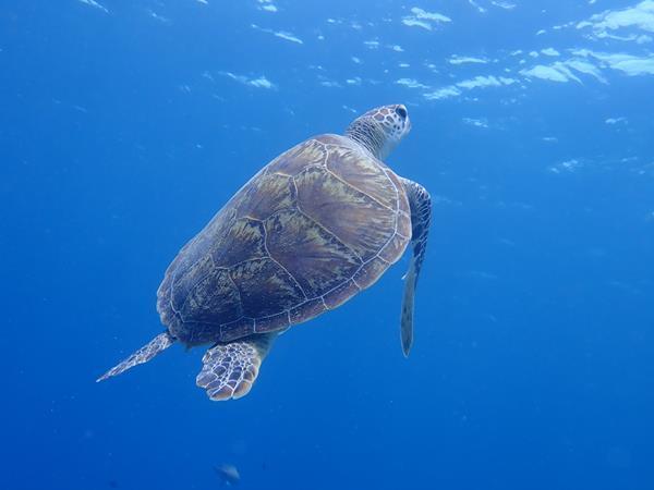 沖縄の旅の3日目。ホテル日航アリビラでルームサービスの和朝食を食べて船に乗って慶良間諸島へダイビングに出発です。<br />美しい慶良間ブルーの海で潜ることのできる幸せを噛みしめていると、幸運を呼ぶウミガメに出会うことができました。<br />