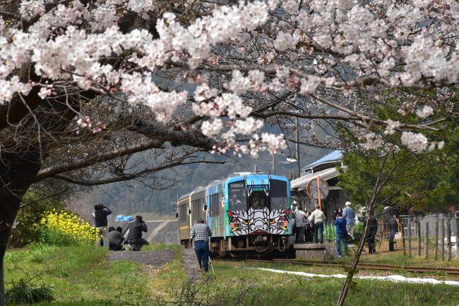 2018年桜の開花は全国的に1週間ほど早く、山陰の三江線(さんこうせん)沿線でも桜の開花が4月初めから3月末に早まります。<br /><br />満開の桜はまもなく引退(3月31日)する三江線に贈る華やかなメッセージとなり、お別れも兼ねて三江線を再訪します。<br /><br />最終日の2日前、江津(ごうつ)駅から三江線に入ると、沿線にはいくつもの桜が7分咲き以上になっています。<br />今日は、江津本町、川平、川戸各駅付近で、桜と鉄道の写真を撮ります。<br />川戸には桜の並ぶ桜回廊があります。<br />