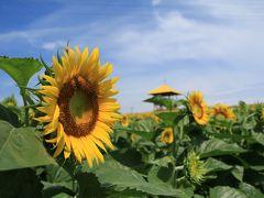 今年も愛知牧場にひまわりの花見てきました♪