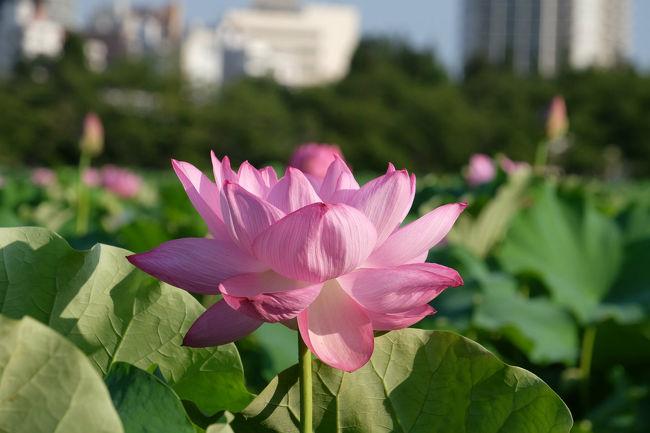 待望の夏 蓮の花を見に早朝5時半にわが家を出る <br /><br /> 何時もの上野駅へ 不忍池へ向かう。<br /><br />  通いなれた道 不忍池へ<br /><br />  駅から ほんの5分