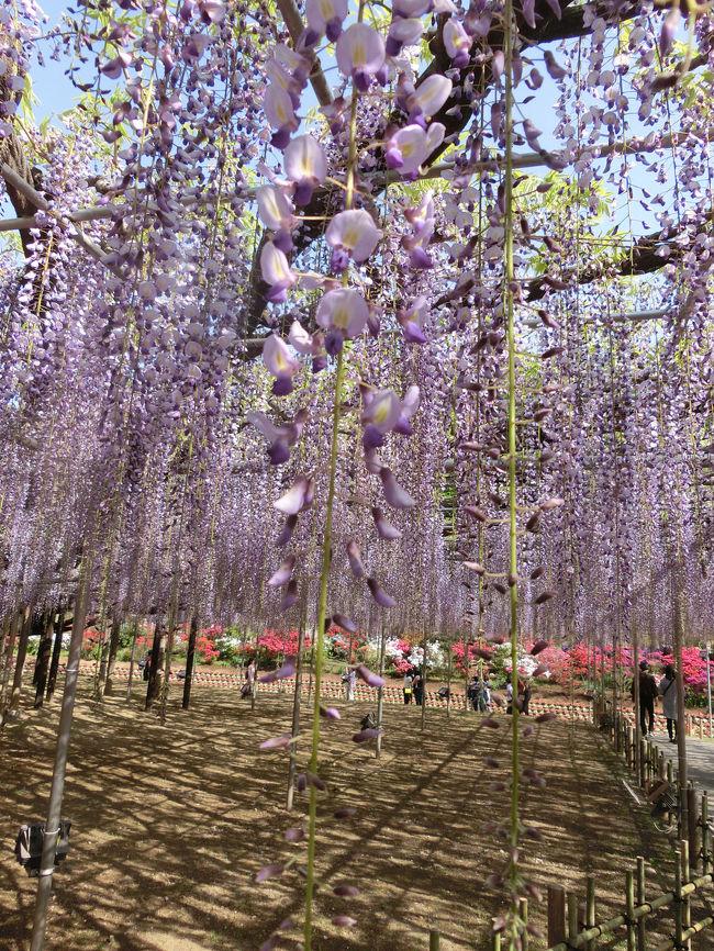 栃木方面にドライブ<br />佐野のアウトレットで昼食をとり<br />あしかがフラワーパークで藤を見ました。