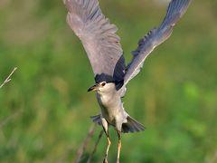 野鳥撮影記録2018年-8月 ①