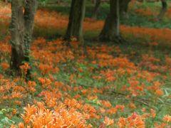 みかも山公園のキツネノカミソリ_2018_驚くほど沢山咲いています。見頃です。(栃木市・岩舟町)