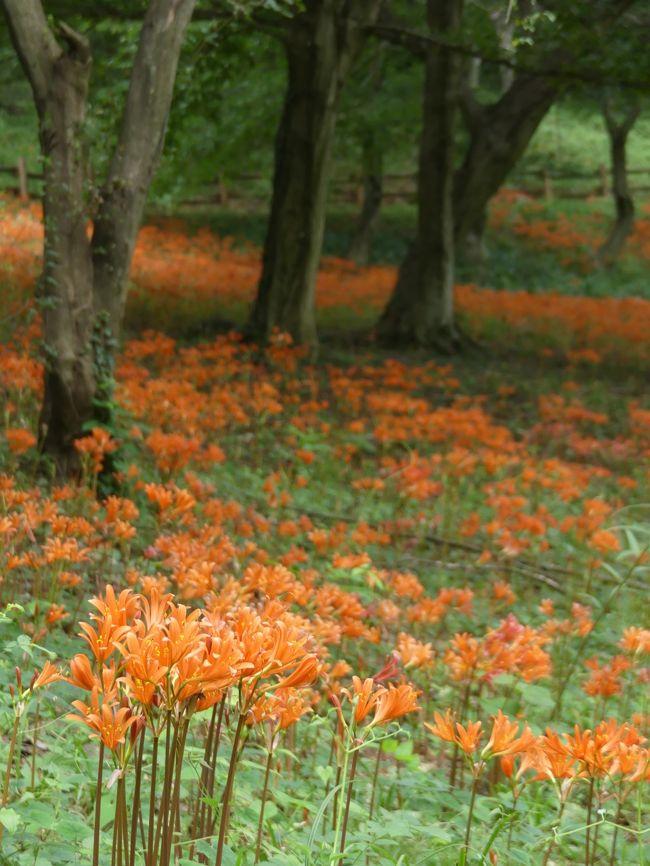 栃木市岩舟町の「みかも山公園」へ、キツネノカミソリを見に行きました。公園のほぼ中央にある中岳の、東側の斜面に群生しています。(中岳の北側の斜面にはカタクリが群生しています:カタクリの園)東側の舗装路から階段を上がっていくと、斜面全体がオレンジ色に見えるくらい、沢山のキツネノカミソリが咲いています。中には傷んだ花もいくつかありますが、全体的には今が見頃だと思います。蕾もあるので、花の数はもう少し増えるかもしれません。<br /><br />旅行記作成に際しては、みかも山公園のパンフレットやホームページ、および関連するネット情報などを参考にしました。