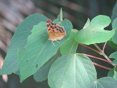 森のさんぽ道で見られた蝶⑳キタテハが沢山見られました