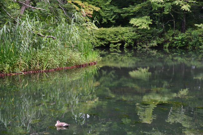 炎暑の都内を離れて軽井沢の自然を訪ねてきました。<br />旧軽井沢の雲場池や離山周辺の閑静な雰囲気がとても好きで、朝方と夕方の未だ他所から人が訪れ始める前と後に行くのがとても落ち着きます。<br />軽井沢駅前のレンタカー店が開店する時間に合せて都内を出発して朝の清々しい雲場池を先ずは堪能してきました。<br />その後に、遅めの朝食をゆっくりとって、お昼時は旧軽井沢より標高があって更に涼しい北軽井沢へと向かいました。