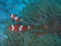 久米島と沖縄本島(6)ダイビング2日目もマンタ、ニモちゃん。大きいのも小さいのもいて楽しい海!