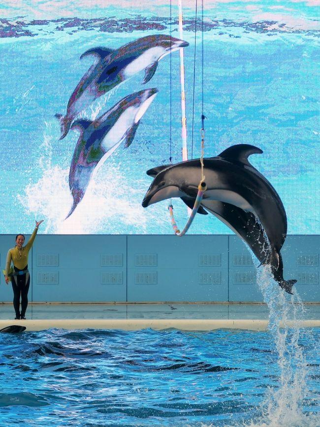 SPORTS<br />トレーナーとイルカやクジラたちのチームで競い合う「シンクロナイズド・ドルフィング」を生中継!迫力満点な演技を次々に披露し、技の難易度や美しさを競います。<br /><br />MUSIC<br />軽快な音楽に合わせてイルカたちがアクロバティックなダンスを披露!番組のラストを飾る迫力のパフォーマンスは圧巻です!. <br /><br />ポイント1<br />様々な動物たちが登場するよ!その数なんと7種類!<br />シロイルカ バンドウイルカ カマイルカ セイウチ カリフォルニアアシカケープペンギン オキゴンドウ<br />ポイント2<br />大型LEDビジョン&ライブカメラがすごい!457インチの大型LEDビジョン(幅10メートル、高さ5.8メートル)とライブカメラにより、いつもは見ることができない水中のイルカたちの様子などをライブ感と臨場感あふれる演出で、様々な角度からショーをお楽しみいただけます。<br />http://www.seaparadise.co.jp/special/seapara-live-tv/index.html より引用<br /><br />横浜・八景島シーパラダイスは、神奈川県横浜市金沢区八景島にある海の動物のテーマパーク。 <br />横浜市が人工島である八景島を造成し、一部を株式会社横浜八景島に貸し付けて、1993年5月8日、営業を開始する。 八景島の総面積は239,776.68 m&amp;sup2;(約24 ha)であり、内、株式会社横浜八景島への貸し付け面積は76,385.68 m&amp;sup2;である。八景島そのものは横浜市が管理する公園のため、入島は無料である。一方で、シーパラダイスを運営する株式会社横浜八景島は西武グループの企業である。そのため施設への入館やアトラクション利用時に料金が発生する。 <br /><br />水族館本館であるアクアミュージアム、イルカの展示を中心とした別館であるドルフィンファンタジー、展示されている動物を間近で観察することを特徴とする展示エリアであるふれあいラグーン、乗り物施設であるプレジャーランドなどから成る。 <br />2007年に「ふれあいラグーン」が開業すると、既に開設していた「アクアミュージアム」「ドルフィンファンタジー」と併せて「アクアリゾーツ」という名称になった。 <br />アクアミュージアム<br />ピラミッドのような外観の大規模水族館である。フロアは5階まであり、1、3、4階は展示、5階はアクアシアター、2階は一般立ち入り禁止となっている。延床面積 18,000m&amp;sup2;、総水量 12,000t (野外水槽を含む) <br />アクアスタジアム<br /> 「生態ショープール」 (野外水槽、水量3,503t)<br />ドルフィンファンタジー<br />2004年7月16日にオープンしたイルカの展示を中心とした水族館。トンネル状の水槽と円筒型の水槽で構成される。 <br />「バンドウイルカ・カマイルカ水槽」 (水量742t) <br />ふれあいラグーン<br />2007年7月27日にオープンした。展示されている鯨類を間近で観察できるように水槽の縁が低く設計されている。  総水量3,700トン  コンセプトは「Open Aquarium」<br />(フリー百科事典『ウィキペディア(Wikipedia)』より引用)<br /><br />八景島シーパラダイス については・・<br />http://www.seaparadise.co.jp/