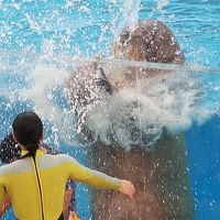 八景島17 セイウチ EXERCISE「アクアスタジアム LIVE TV 」 ☆イルカのキック!水浴びタイムも