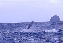 久米島と沖縄本島(9)マンタそして幸運の野生のイルカとダイビング!で大興奮!