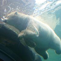 2018年8月 札幌旅行 2日目♪円山動物園♪ホッキョクグマ♪北海道神宮♪