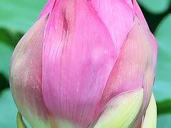 館林1/3 城沼 花ハスまつり:遊覧船に乗って ☆花ハス-開花-接近し鑑賞