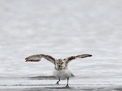 野鳥撮影記録2018年-8月  ③
