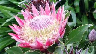 10日間の南部アフリカ4か国周遊感動体験 6日目後半 カーステンボッシュ植物園