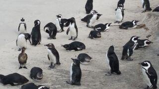 10日間の南部アフリカ4か国周遊感動体験 7日目後半 ケープ半島国立公園~ボルダーズビーチ・ワイナリー・ウォーターフロント