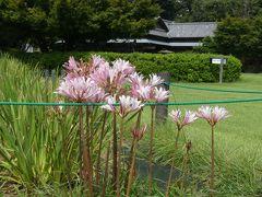 つつじが岡第二公園の謎の花_2018_彼岸花は未だですが、似たようなピンクの花がありました。(群馬県・館林市)