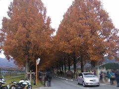紅葉のメタセコイヤ並木を見に、日帰りドライブ