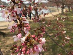 ワシントンDC~桜が咲いていなければナショナルギャラリーに目的変更する旅行