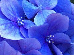 白山神社の紫陽花は外国人のアマチュアカメラマンにも大人気