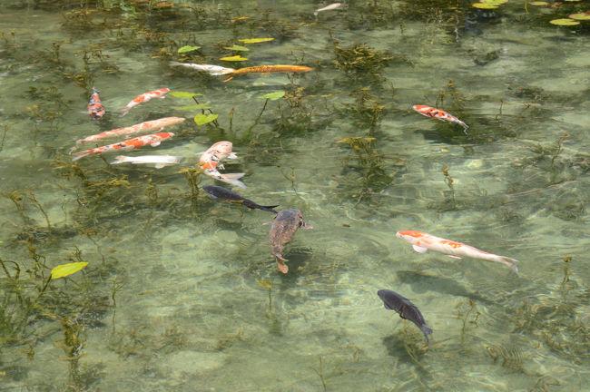 岐阜県関市の「モネの池」に出掛ける。<br /><br />・名もなき池「通称:モネの池」<br /> 関市板取の根道神社境内にあるこの池は、非常に透明度が高く、スイレンとともに鯉が泳ぐ様は、フランスの画家クロード・モネが描いた「睡蓮」に似ていることから、「モネの池」と呼ばれ、関市の人気スポットとなっています【たびものがたり in 関より】<br /><br />・入園料 & 駐車料金  不要です<br /><br />・関市の観光情報はこちら<br />     http://sekikanko.jp/