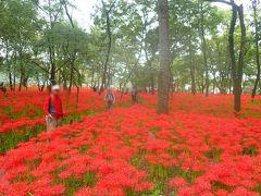 深紅のヒガンバナ 巾着田曼珠沙華祭り2018