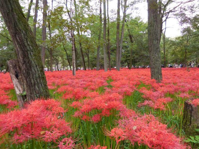 9月の3連休中日、埼玉県横瀬町の寺坂棚田と日高市の高麗本郷にある巾着田に行きました。どちらも彼岸花の群生が見ごろを迎え、イベントが開催されていました。<br />特に巾着田の方は大混雑の盛況で、とてもにぎやかでした。