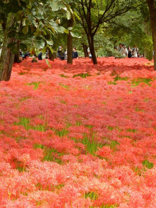 """""""彼岸花(別名「曼珠沙華」)""""、お彼岸の時期に合わせたように咲き始め<br />あちこちで目にするようになりました。<br />お彼岸の3連休、何とか晴れ間の見えかかった23日・秋分の日、埼玉県日高市の巾着田へ。今年は、「日和田山」の上から巾着田を眺めてきました。<br /><br /> <br /><br />"""