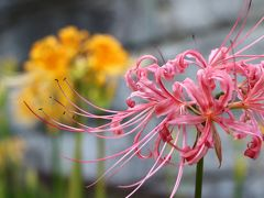 西方寺の彼岸花、今年も4色揃い咲き・・・
