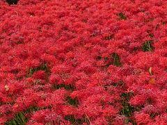 権現堂公園(埼玉県・幸手市)に曼珠沙華を見に行きました。(2018.09)