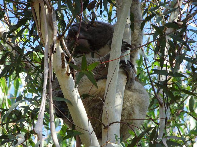 天王寺で時間があったので、まずハルカスの写真を撮るために周辺を散策しました。<br /><br />そして、近鉄デパ地下で、昼食。<br /><br />その後、動物園に行きました。<br /><br />天王寺動物園(てんのうじずー)は、ずーっと来ていませんでした。<br /><br />動物は、可愛く癒されます。<br /><br />そして、遠足などで小さい子供もたくさん来ており、こちらも可愛いですね。<br /><br />【写真は、コアラです】