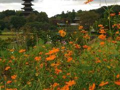 岡山☆備中国分寺の赤米とコスモス