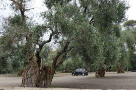 美しき南イタリア旅行♪ Vol.410(第15日)☆カリメーラ:1000年オリーブの木♪