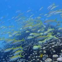 秋の沖縄本島と石垣島(28)3日ぶりのダイビングは竹富島へ。ヨスジフエやデバスズメの群れにイソマグロにヤッコエイ。いきものいっぱい!