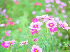 国営昭和記念公園のコスモスはセンセーションが見頃です!