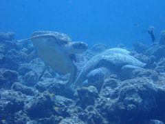 秋の沖縄・石垣島(31)黒島ダイビング~ウミガメ、ホワイトチップシャークに美しいハナゴンべに。そして海の奇蹟に感謝!