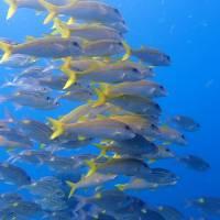 秋の沖縄本島と石垣島(33)黒島ダイビング~洞窟でサメ、大量のスカシテンジクやキンメモドキ。アカヒメジとノコギリダイは仲良く隊列
