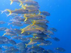 秋の沖縄・石垣島(33)黒島ダイビング~洞窟でサメ、大量のスカシテンジクやキンメモドキ。アカヒメジとノコギリダイは仲良く隊列