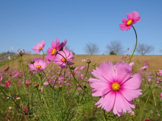 10月27日(土)・28日(日)にコスモスフェスティバルが行われる予定の吹上コスモス畑。鴻巣市のホームページでは15日の情報で全体として3分咲き。お出かけ日和だった21日、もう少し咲き進んでいるはずと思い、ひと足先にコスモスを見に出かけました。(22日現在では8分咲きとのこと※HPより)<br />コスモス畑のメインの品種・センセーションはピーク手前のようでしたが、爽やかな秋晴れの下、広大なコスモス畑の散策を楽しんできました♪<br />よろしければご覧ください~!