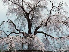ひとりお花見部 2004 東山   京都詣で No.2